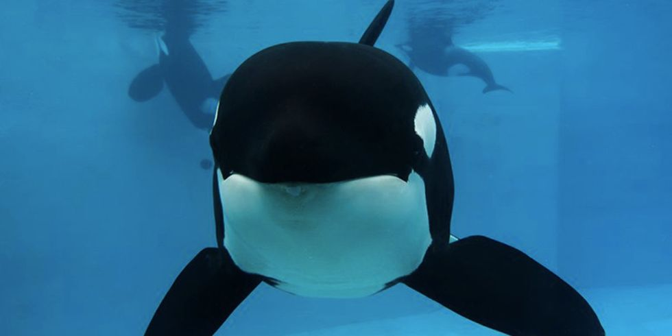 SeaWorld Euthanizes Orca Matriarch Kasatka Following Long Bout With Lung Disease