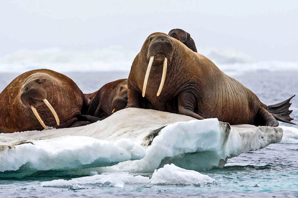 Loss of Arctic Sea Ice Causes Earliest Pacific Walrus Haul Out Ever