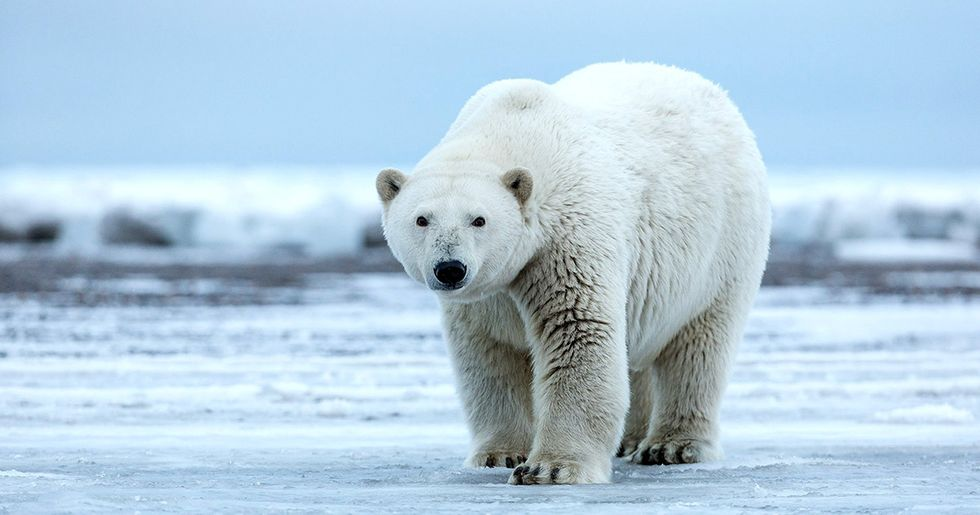 Trump Green Lights Arctic Drilling Project in Polar Bear Habitat