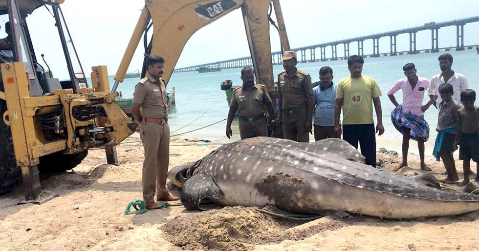 Whale Shark Found Dead, Plastic Spoon Stuck in Digestive System
