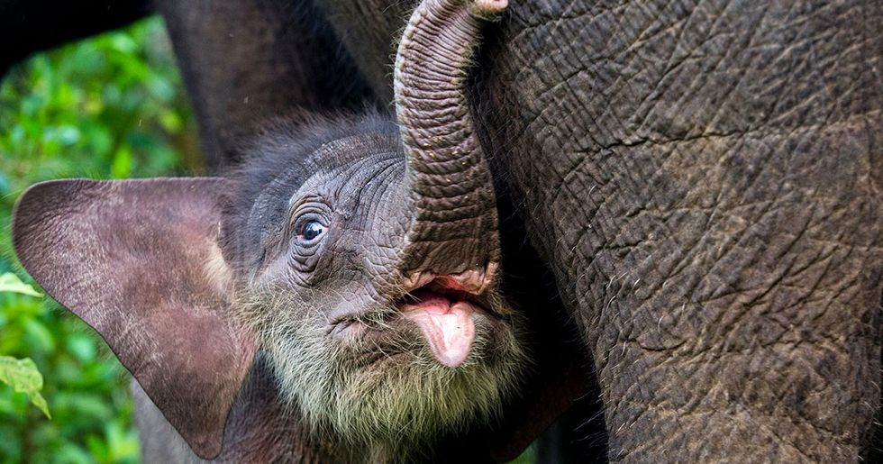 World's Biggest Brands Are Pushing Indonesia's Endangered Elephants to Extinction
