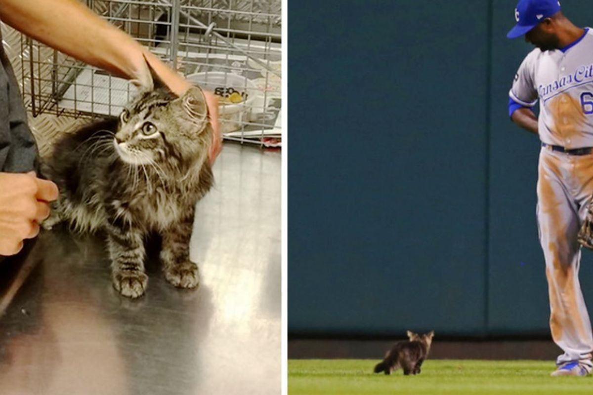 Kitten Who Surprised Baseball Players During Game Is Found with Updates and Photos!