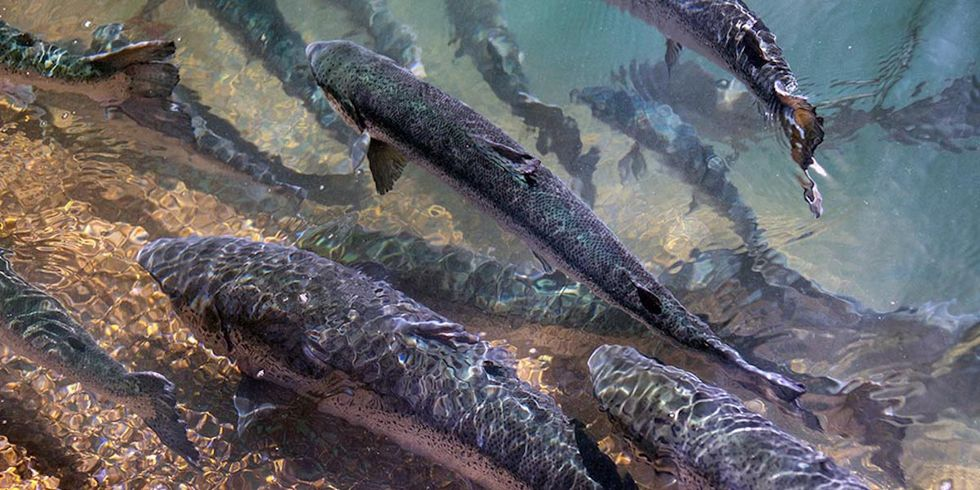 Thousands of Farmed Atlantic Salmon Escape Into Pacific Ocean