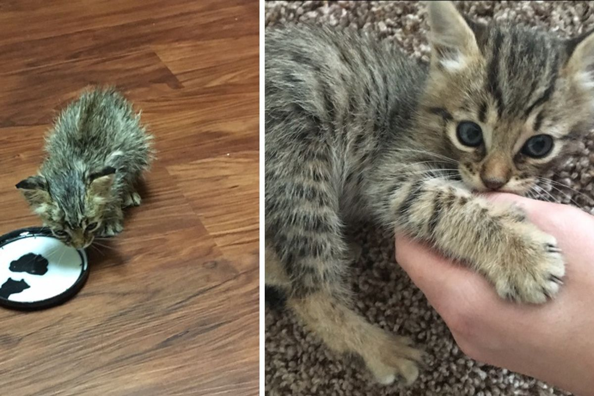 Scraggly Kitten Found Meowing Under House Blossoms into Majestic Tabby