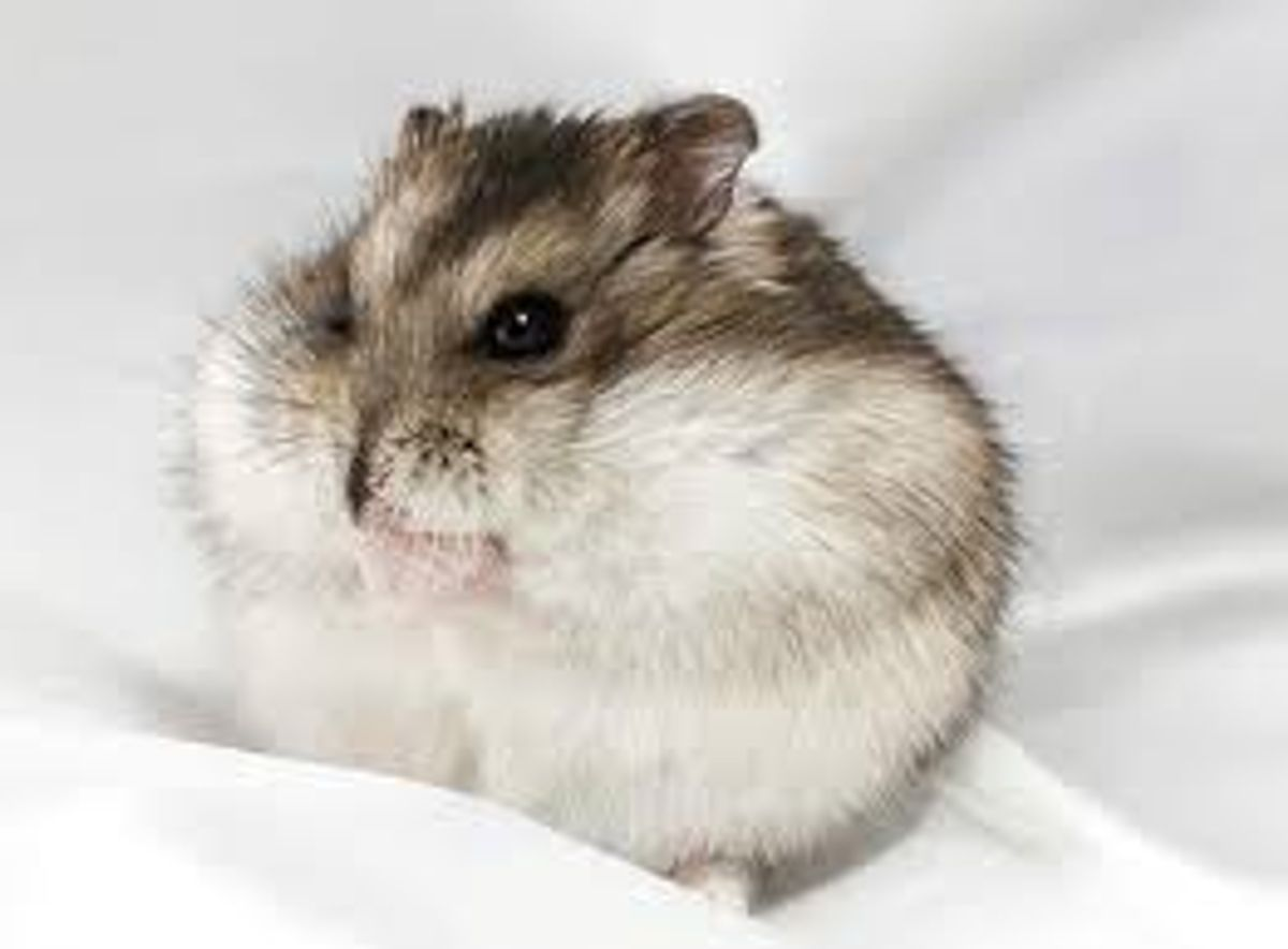 6 Reasons Dwarf Hamsters Are Great Pets