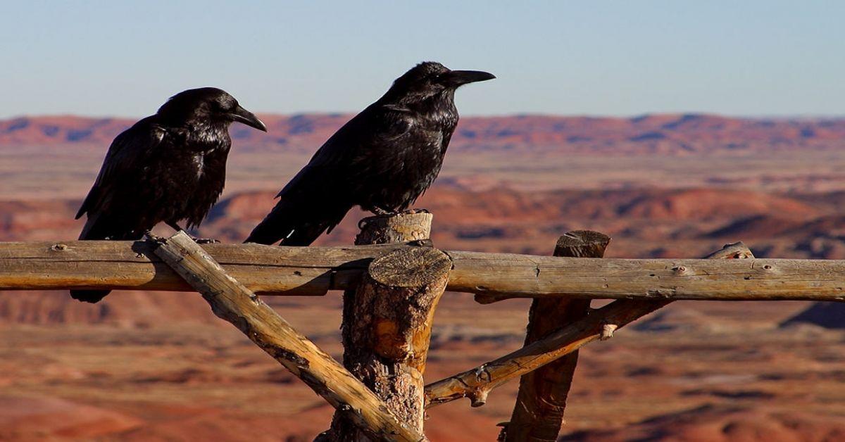 Poetry On Odyssey: Ravens