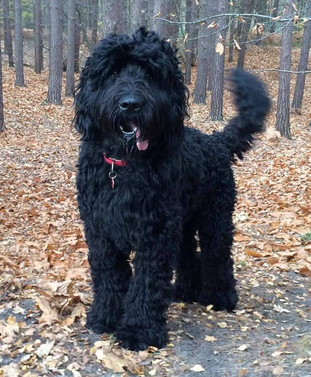 Literally Just 10 Different Kinds Of Mixed Poodle Breeds