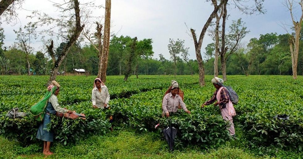 The True Cost of a Cup of Assam Tea