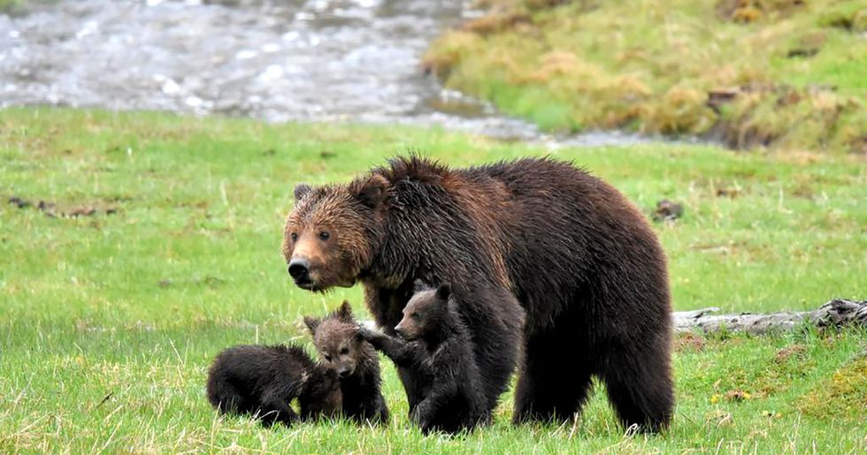 Battle Begins to Restore Protections for Greater Yellowstone Grizzly Bears