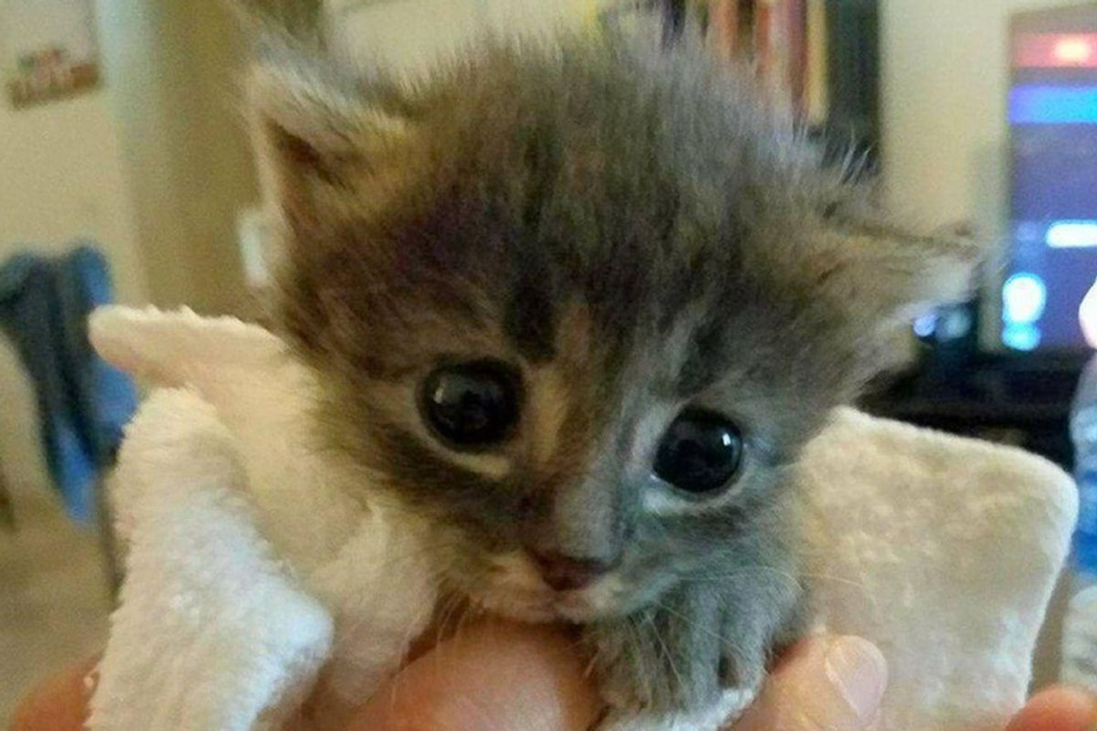 Kitten No One Thought Would Survive, Was Brought Back to Life and Grew To Be A Majestic Cat!