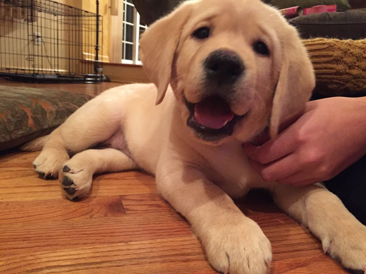 7 Reasons Yellow Labs Are The Best Dogs