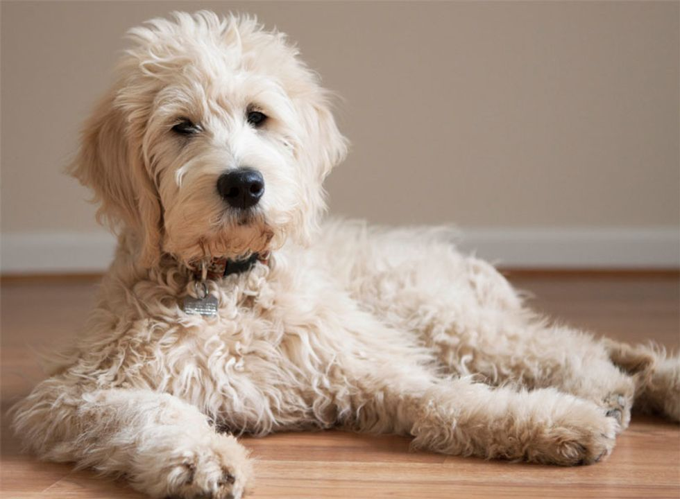 13 Things Youll Understand If You Own A Goldendoodle