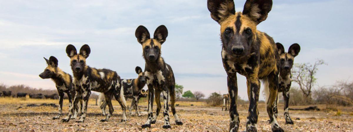 Species Spotlight: The African Wild Dog