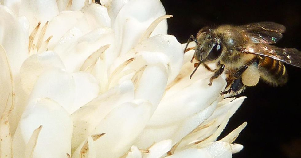 Buzz Kill: Climate Change Threatens Coffee-Pollinating Bees