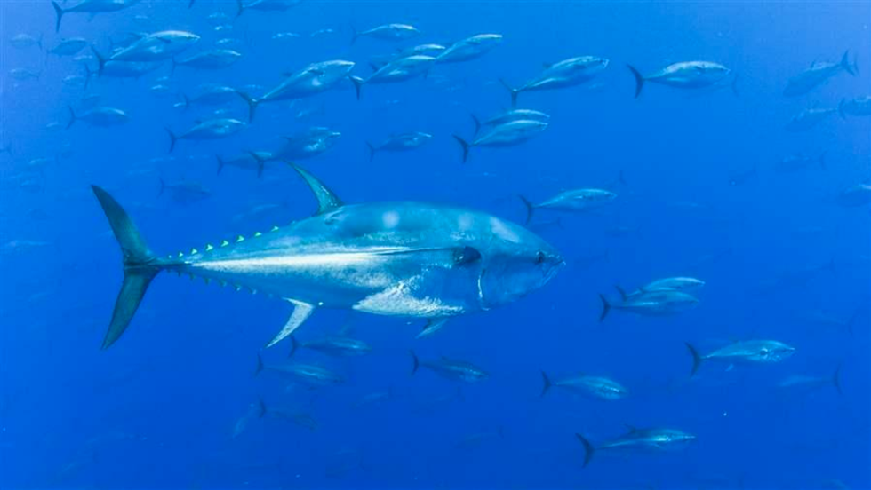 New Agreement Offers Brighter Future for Pacific Bluefin Tuna