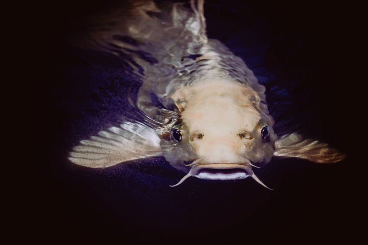 For Catfish