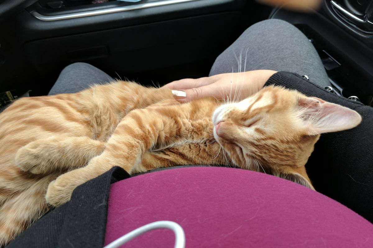 Stray Cat Jumped into Woman's Car Curled Up In Her Lap, She Didn't Have the Heart to Wake Him