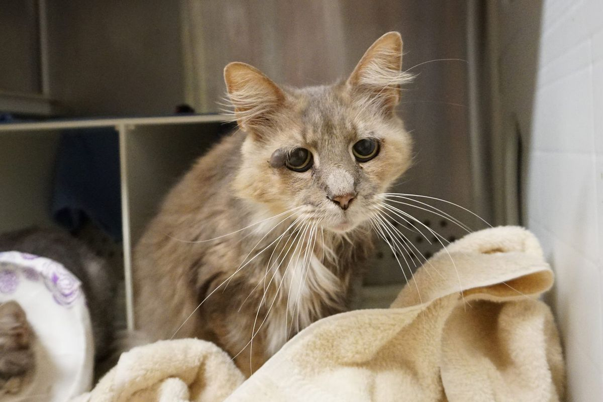 9-year-old Shelter Cat Bats Sad Eyes, Chirps Aloud Trying To Get Adopted