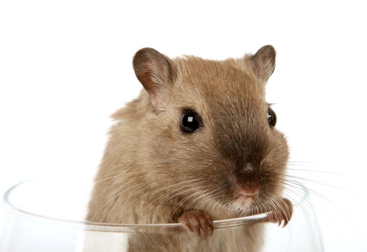 When An English Major Encounters A Rat