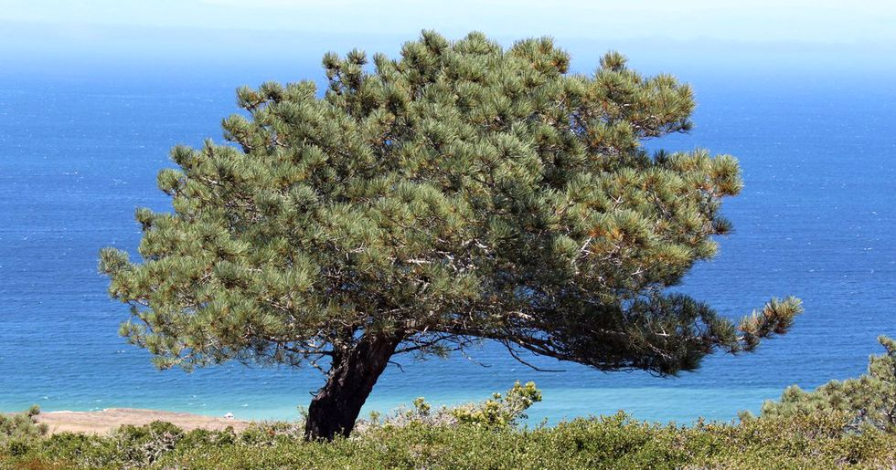 'Genetic Rescue' May Be the Secret to Saving This Iconic Tree