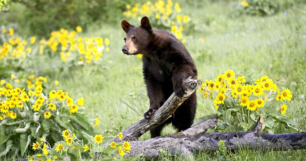 Resolving a Real-Life Rivalry Between Bears and Honeybees