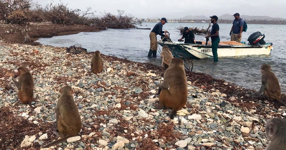 Scientists Join Forces to Save Puerto Rico's 'Monkey Island'
