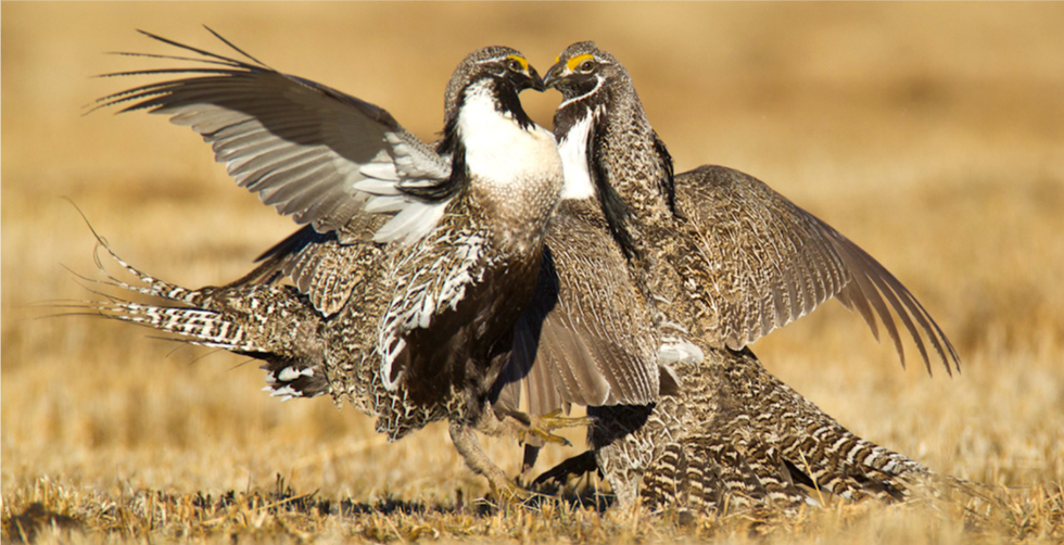 Much to Grouse About: Interior Department Calls for Changes That Could Threaten Sage Grouse Protection