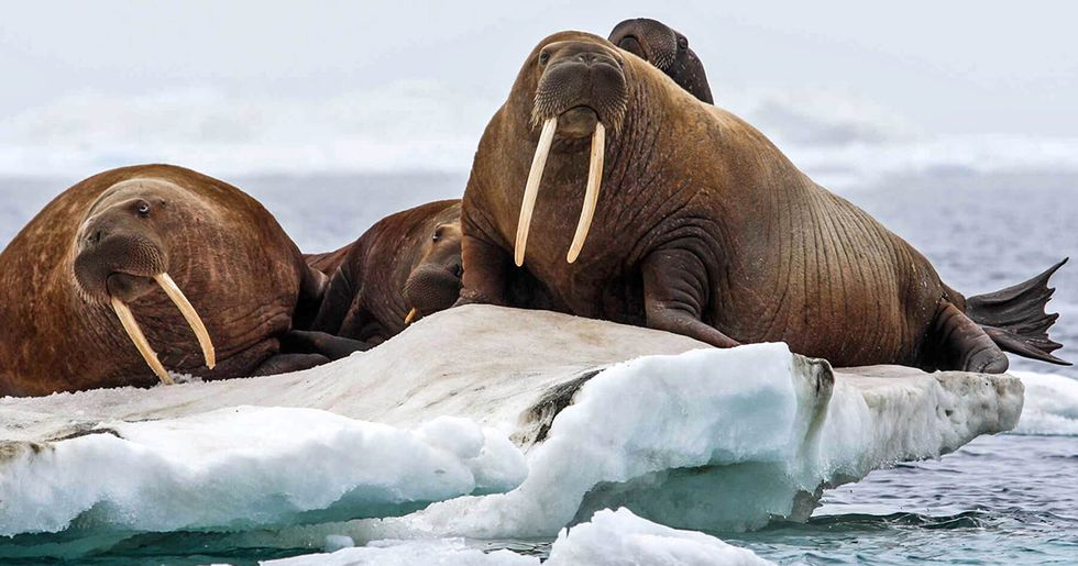 Trump Administration Signs 'Death Sentence' For Pacific Walrus