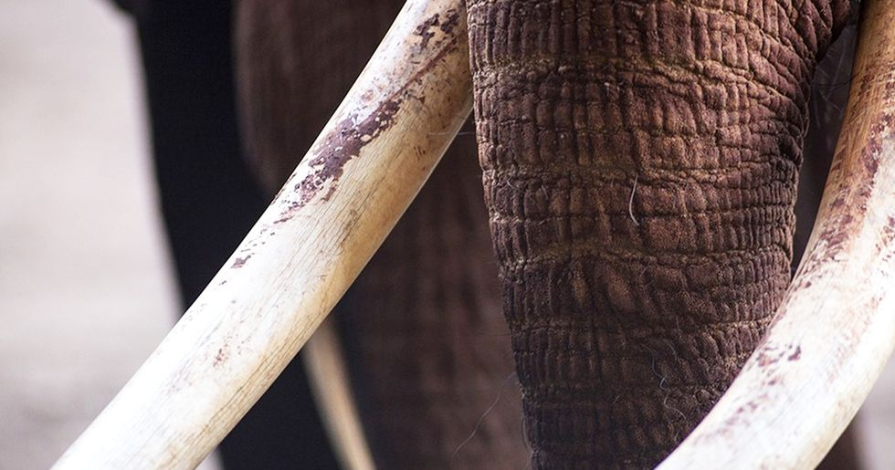 UK Takes Significant Step Towards Ivory Ban