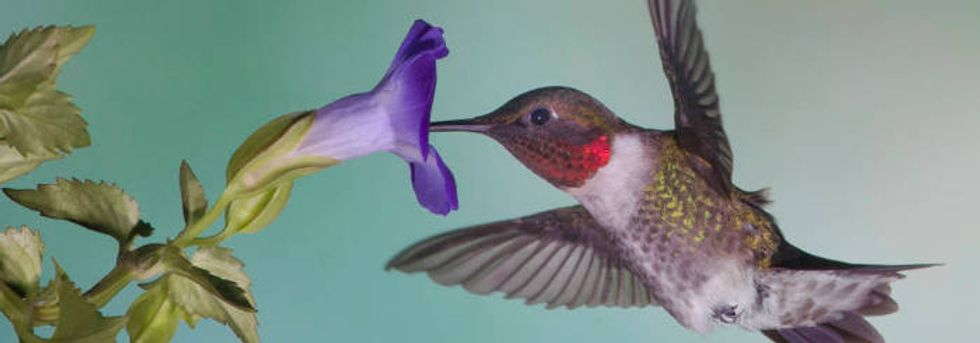 Essay: Tracking a hummingbird's arrival, for fun and science.