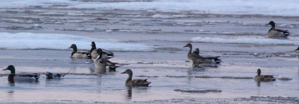Plastic hurting Canada's loons, ducks and geese.