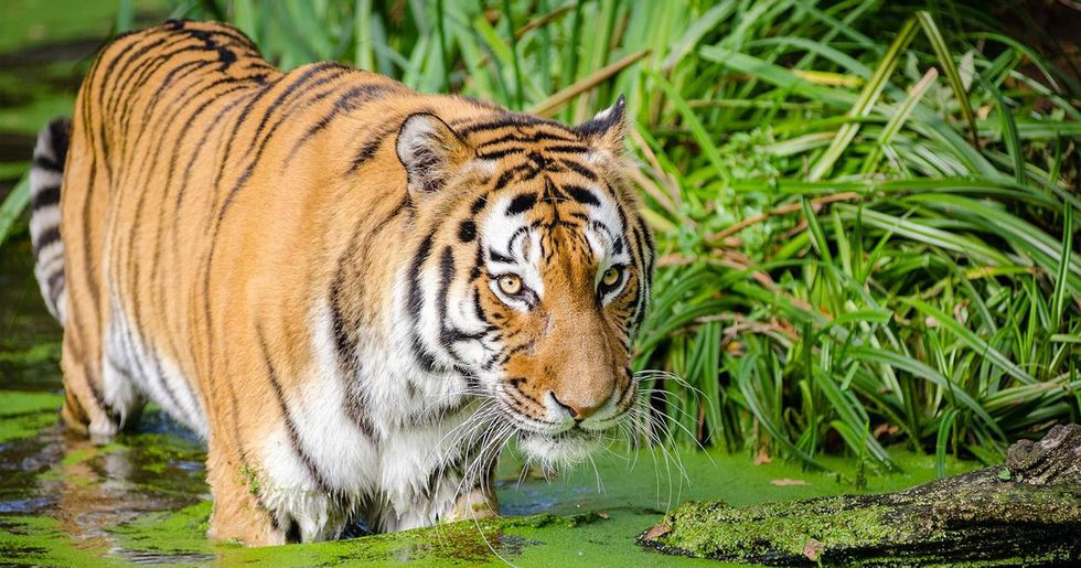 After a Half-Century, Tigers May Return to Kazakhstan
