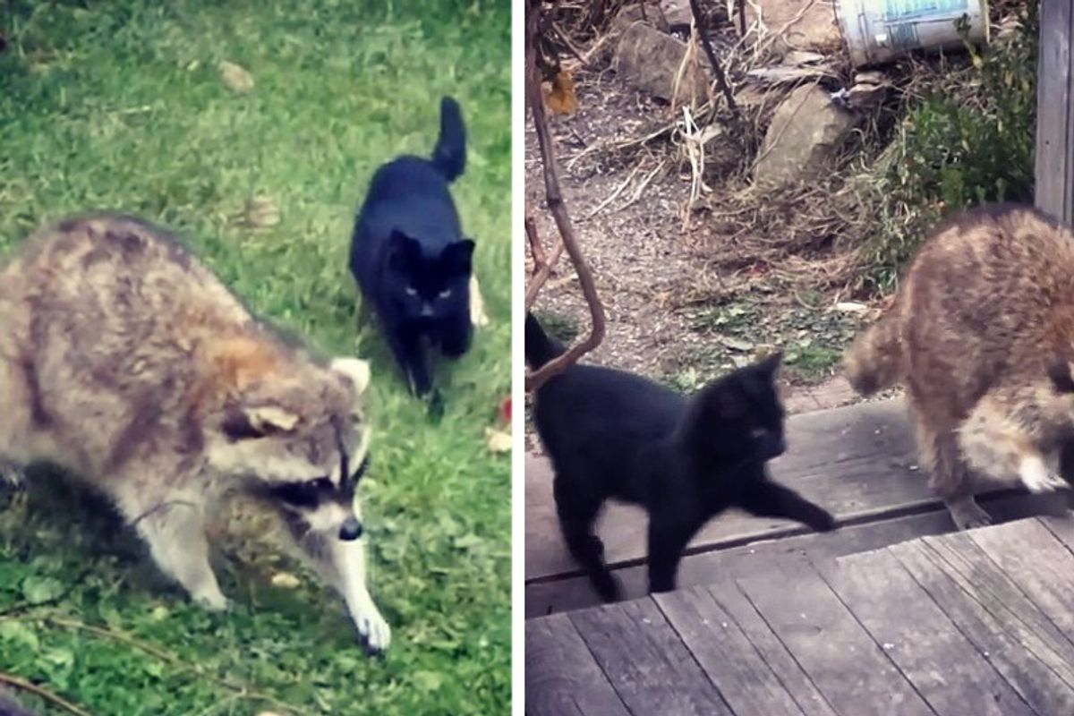 Blind Raccoon Brought Kittens to His Human Friend and Saved Their Lives...