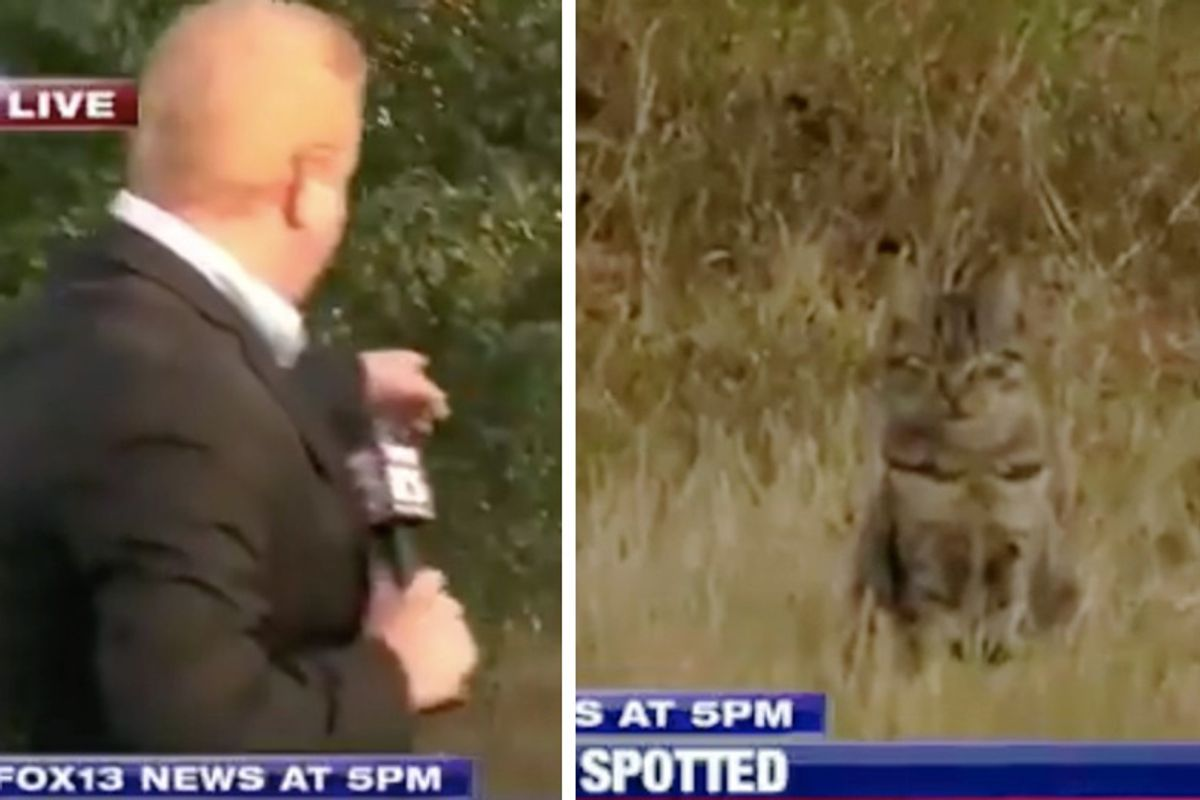 Tabby Cat Crashes Live News While Reporter Investigates Possible Cougar Spotting...