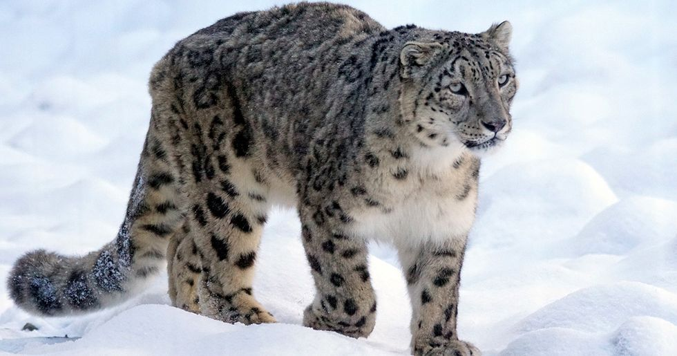 Snow Leopards Still Threatened by Consumer Demand for Skins and Body Parts