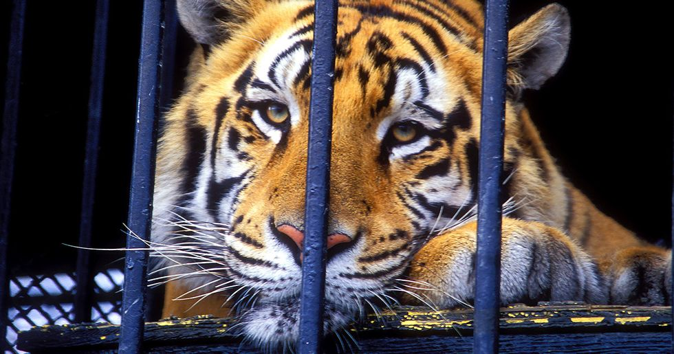 The Tragic Tale of Tony the Truck Stop Tiger