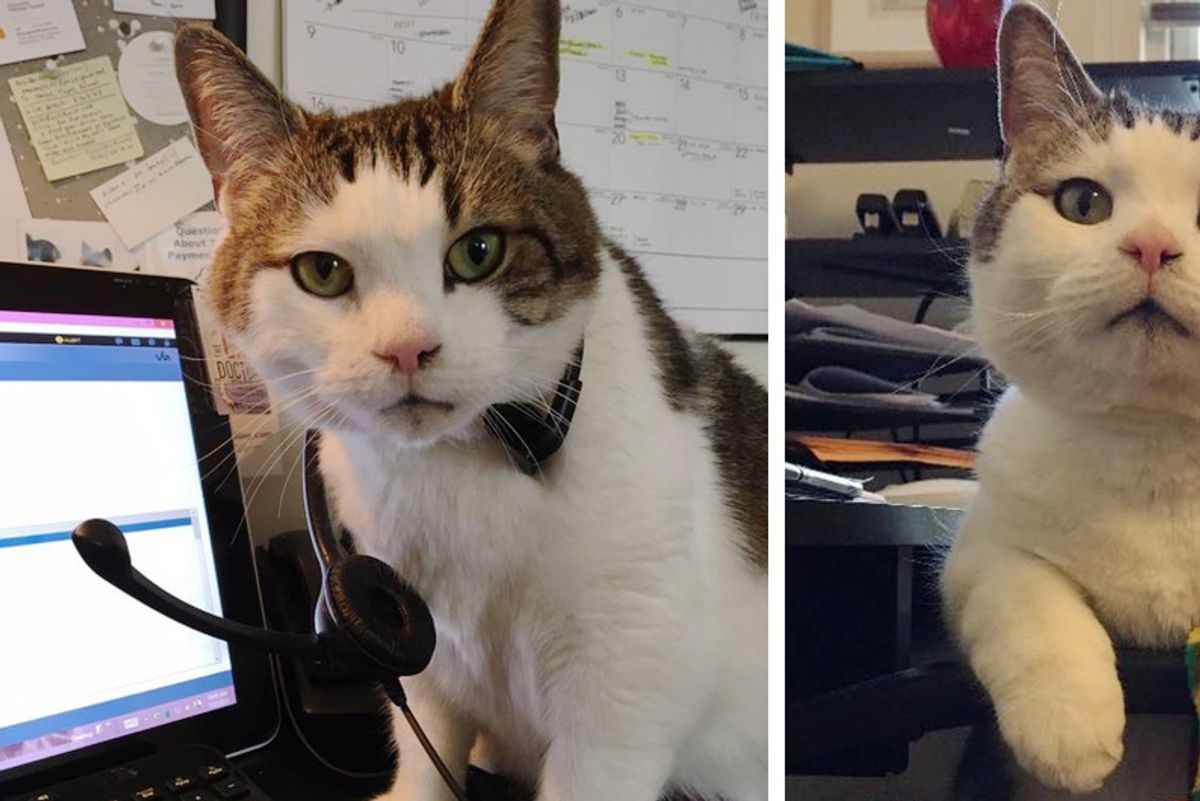 9-year-old Cat Has Important Job at Animal Hospital and Has Saved Many Lives