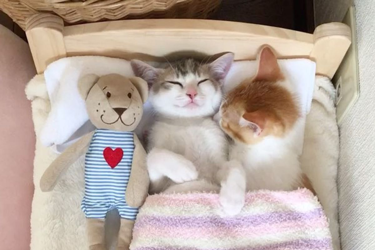 Family Saves 2 Kittens and Gives Them IKEA Bed - They Grow Up Napping in It In These Adorable Photos
