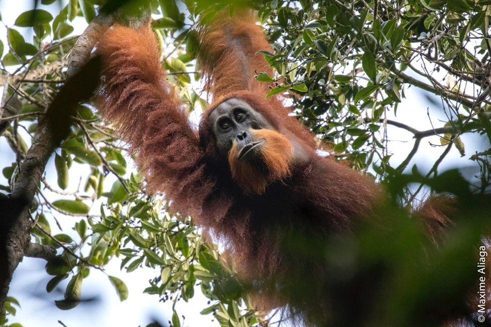 Scientists Discover a New—and Endangered—Orangutan Species
