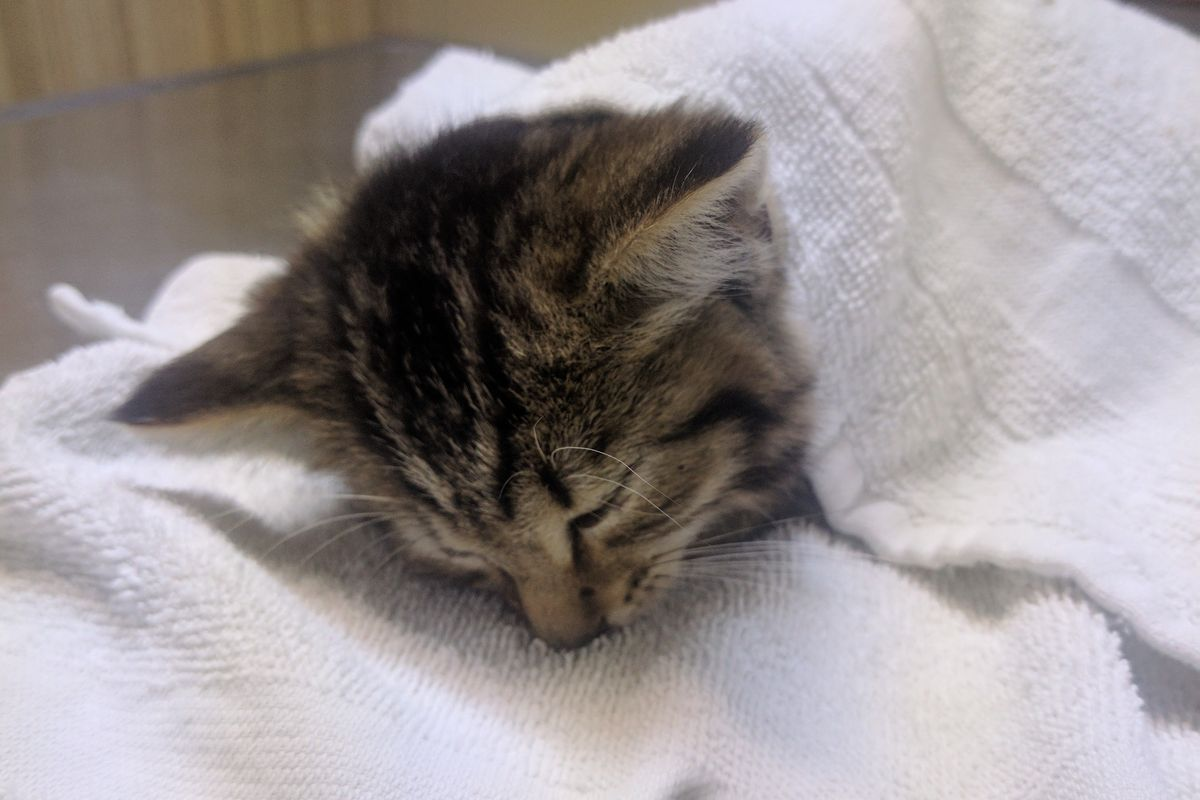 Kitten Found In Middle of Road Squeaks in Gratitude at Her Rescuer For Saving Her Life...