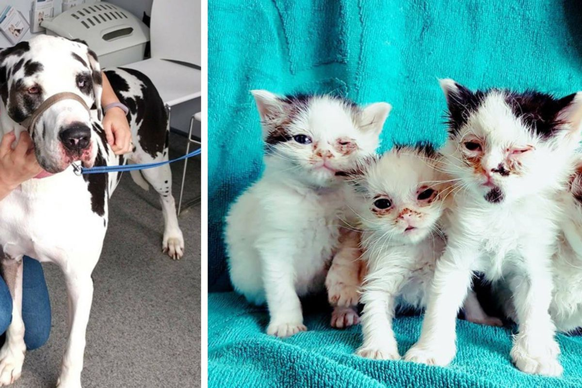 Kittens Regain Eye Sight After Getting Help From A  Big Doggy Donor and Rescuers...
