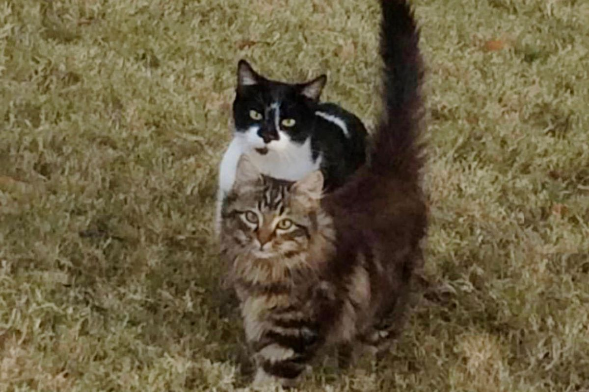 Feral Cat Brings Her Son to Woman Who Fed Her, and Surprises Her With 4 More...