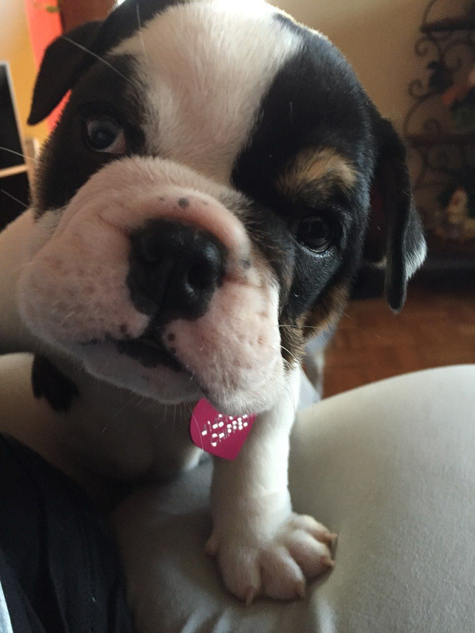 What It's Like To Have Two English Bulldog Puppies