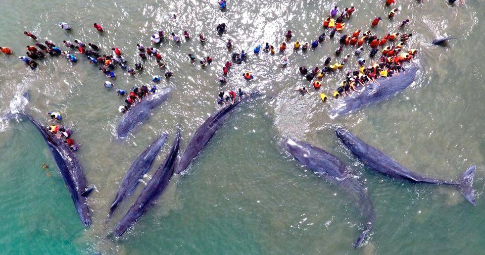 Rescuers Race to Save Stranded Whales in Indonesia
