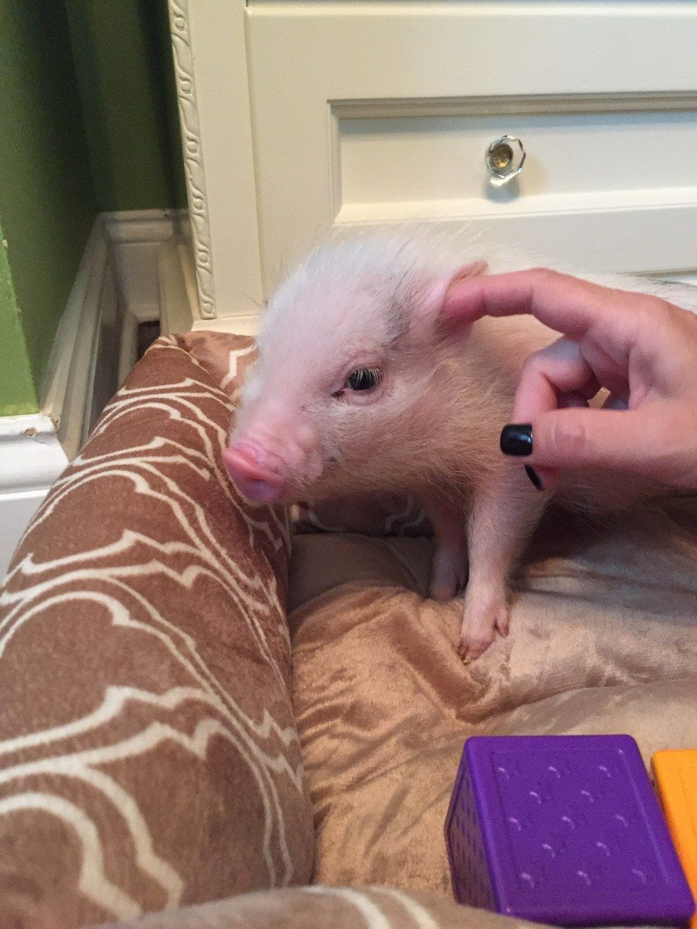 10 Cute Facts About Micro Pigs