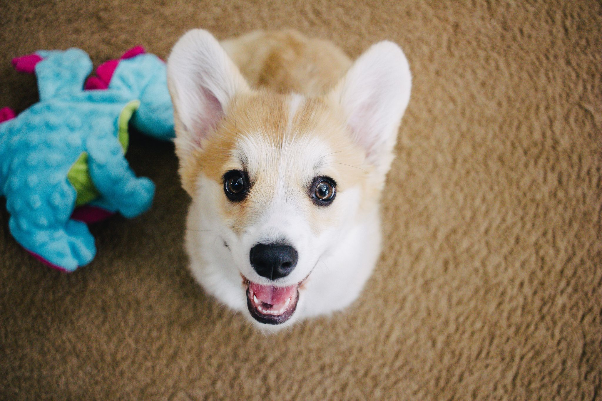 19 Corgi Puppy Gifs And Photos To Make You Smile