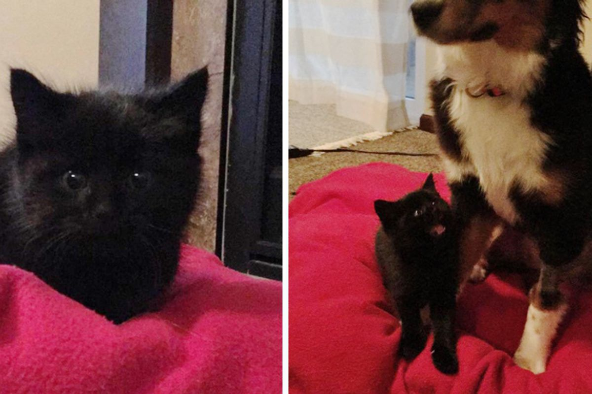 They Try to Find Roadside Kitten a Home But The Kitty Snuggles Up to Their Dog and Won't Let Go…