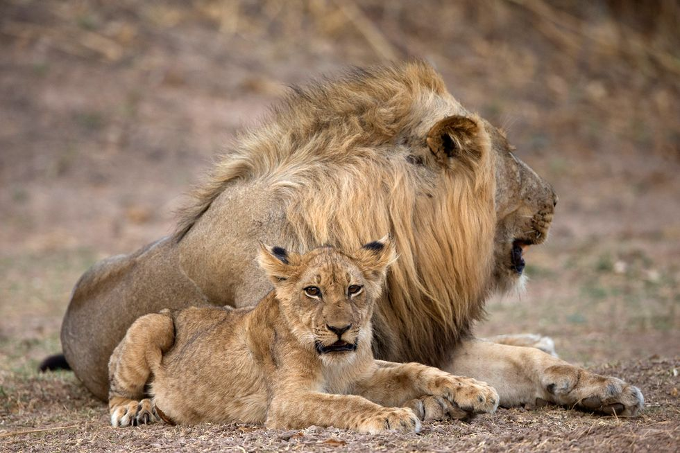 Lion 'Trophy' Importation Ban Was Quietly Lifted by Trump Administration in October