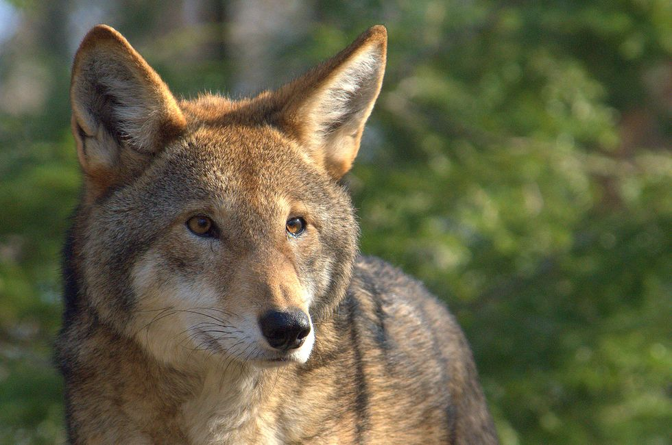 Senate Republicans Push for Extinction of North Carolina's Red Wolf