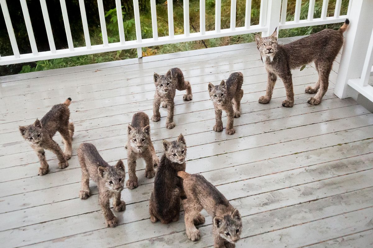 Lynx Mama Brings Her 7 Kittens To Revisit Man's Deck on Snowy Day...